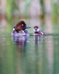 Slow down mom (by_Dennis_Grunwald) Tags: nikon nikonz6 nikon200500 200500mmf56 waterfowl goldeneye birding birds nature wildlife