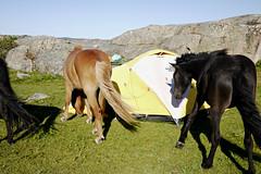 Wild horses (Päivi ♪♫) Tags: sweden summerhoday bohuslän kayak paddling island tent horses