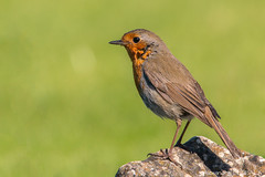 European Robin (Alexandre D_) Tags: color colors birds canon eos colorful erithacusrubecula beak feathers bec oiseau europeanrobin oiseaux rougegorge rougegorgefamilier 70d light orange sun france colour eye nature beautiful animal animals outside eyes colours dof natural outdoor availablelight couleurs naturallight aves depthoffield couleur animalia insectivorous passerine passereau billymontigny hautsdefrance sigma120400mmf4556oshsm closeup details 120400mm garden bokeh bird