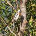 Western Red-billed Hornbill (Tockus kempi), male preening