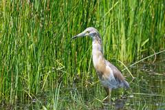 heron crabier chevelu (Ardeola ralloides) (leadrien0) Tags: heron crabier chevelu ardeola ralloides
