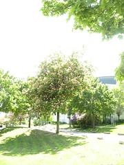 Mein Jesus fähret heut mit Jauchzen auf (amras_de) Tags: rosskastanien kastanie castanyerdíndia jírovec hestekastanje aesculus hevoskastanjat vadgesztenye käschtebeem paardenkastanje kasztanowiec divjikostanj hästkastanjesläktet atkestanesi baum træ stablo boom árbol drvo arbre strom tree arbo puu zuhaitz crann fa arbore tré albero arbor medis koks tre drzewo árvore àrvulu drevo träd agaç frühling primavera proljece jaro forår spring printempo kevad udaberri kevät printemps earrach tavasz vor ver fréijoer pavasaris lente vår prima wiosna primavara ware jar pomlad ilkbahar
