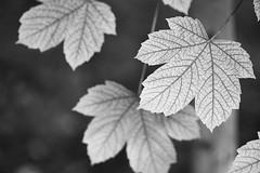 Arteries of Life (Michael J Lawlor) Tags: tree sycamore blackwhite blackandwhite bw monochrome leaves