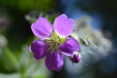 «ПОЗНАКОМЬТЕСЬ: ЛЕСНАЯ ГЕРАНЬ» (Angelok-Happy) Tags: лес май цветок леснаягерань солнышко свет природа nature light forest flower forestgeranium may