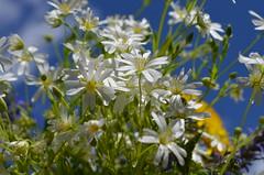 Живет повсюду красота,  Живет не где-нибудь, а рядом,  Всегда открыта нашим взглядам,  Всегда доступна и чиста.  Живет повсюду красота  В любом цветке, в любой травинке,  И даже в маленькой росинке,  Что дремлет в складочке листа. (Angelok-Happy) Tags: природа лес май цветызвездчатка букет лучикицветочек nature heaven forest flower star may