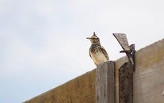 Crested Lark (Galerida cristata) (Kremlken) Tags: galeridacristata larks easterneurope birds birding birdwatching nikon500