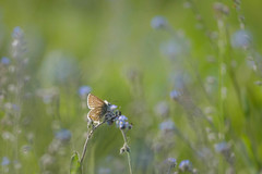blue world (Emma Varley) Tags: butterfly commonblue forgetmenot wildflower dreamy nature shallowdepthoffield environment southdownsnationalpark