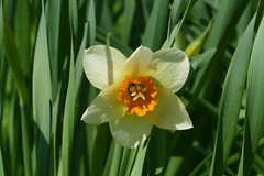 Panasonic FZ1000, Flowers, Botanical Gardens, Montréal, 20 May 2019 (40) (proacguy1) Tags: panasonicfz1000 flowers botanicalgardens montréal 20may2019