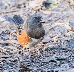 Spotted Towhees (Omygodtom) Tags: wildlife ngc usgs flickriver animalplanet animal bird dof oaksbottom natural nikkor nikon70300mmvrlens d7100 digital spotted towhees