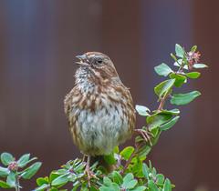 Morning Song. (Omygodtom) Tags: songsparrow bird wildlife nikon70300mmvrlens d7100 nature natural nikkor urbunnature ngc usgs flickriver