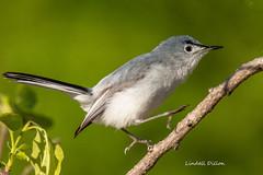 Blue-gray Gnatcatcher (Lindell Dillon) Tags: bluegraygnatcatcher neotropical birds birding natue oklahoma wildoklahoma