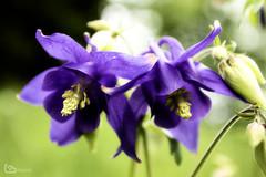 Bulgarian Columbine (alamond) Tags: bulgariancolumbine columbine flower plant violet blue canon 7d markii mkii llens ef 1740 f4 l usm alamond brane zalar
