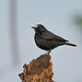 Western White-fronted Black-Chat (Oenanthe albifrons frontalis), male