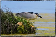 Black Crowned Night Heron (RKop) Tags: nummyisland capemay newjersey raphaelkopanphotography d500 600mmf4evr 14xtciii nikon