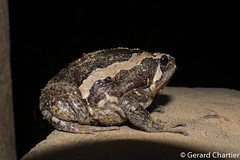 Kaloula pulchra (Asian Painted Frog) (GeeC) Tags: tatai animalia cambodia anura chordata nature kaloula kohkongprovince kaloulapulchra amphibia microhyloidea microhylidae asianpaintedfrog frogstoads narrowmouthedfrogs