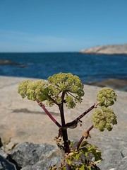 (helena.e) Tags: helenae hönö hönöklåva water vatten husbil rv motorhome älsa flower blomma växt plant htc htc12