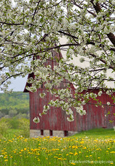 Blossom Time ... on a farm'o'mine (Ken Scott) Tags: backpage orchard cherryblossoms barn dandelions leelanau michigan usa 2019 may spring 45thparallel hdr kenscott kenscottphotography kenscottphotographycom