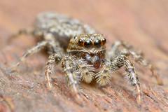 Jumping Spider (Rich Lukey) Tags: cute spider jumping insect nikon d7100 sigma 105mm macro closeup flash extension homemade diffuser achromat arachnid eyes hunter hairy predator furry