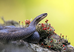 Adder (andywilson1963) Tags: adder snake reptile rock scotland british wildlife nature moorland