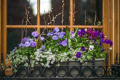 L1004976 (sswee38823) Tags: noctiluxm50mmf095asph noctiluxm109550mmasph noctilux095 noctilux noc noctiluxm109550asph leicanoctiluxm50mmf095asph 50mm 50 leica50mmf95 095 f95 flowers flower bokeh windowbox hanoverstbostonma northend boston bostonma city newengland ma massachusetts leica leicam leicacamera rangefinder photography photograph photo nofilter seansweeney seansweeneyphotographer leicamtype240