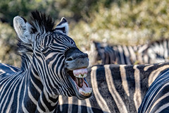 Have a Happy Day everyone! (Johann (Still Me!)) Tags: zebra sebra makemesmile johanndejager ef100400mmf4556lisusm canoneos7dmarkii smile glimlag bokeh teeth tande greatphotographers dikhololo