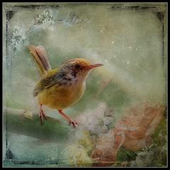 Little Tailor Bird (ulli_p) Tags: asia art artofimages aworkofart bird birds canoneoskissx5 flickraward nature texture textured texturedphoto thailand
