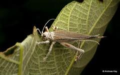 Cricket with Entomopathogenic fungus (In Memoriam: Ecuador Megadiverso) Tags: andreaskay ecuador entomopathogenicfungus fungus grasshopper orthoptera cricket