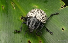 Leaf Beetle, Doryphora multipunctata (Ecuador Megadiverso) Tags: andreaskay beetle chrysomelidae chrysomelinae coleoptera doryphoramultipunctata ecuador megistomelamultipunctata