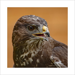 Harris Hawk (prendergasttony) Tags: avian hawk bird beak birdwatching birds birding rspb prey raptor tonyprendergast nikon nature d7200 portrait landscape wildlife wild feathers wings
