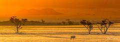 Lonely oryx (Jerzy Orzechowski) Tags: namibrand trees landscape sunset namibia oryx mountains yellow orange grass elitegalleryaoi bestcapturesaoi aoi