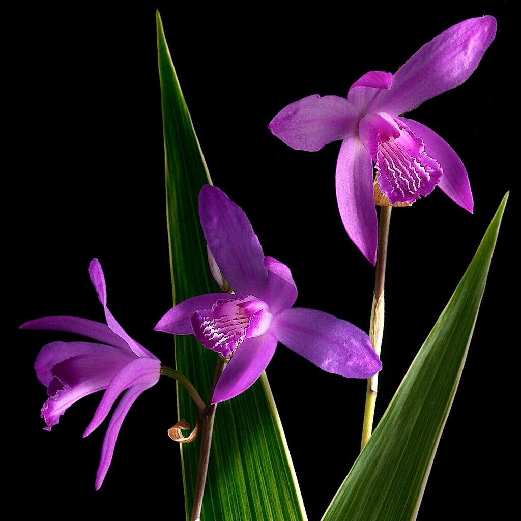 The World\'s Best Photos of bletilla - Flickr Hive Mind