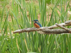 Kingfisher (Simply Sharon !) Tags: kingfisher bird wildlife britishwildlife nature may yorkshirewildlifepark