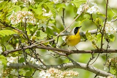 A Little Spring Beauty (maryanne.pfitz) Tags: commonyellowthroat geothlypistrichas warbler songbird bird nature wildlife foraging perching branches leaves blossoms spring mapcy4582 maryannepfitzinger horiconmarshnwr