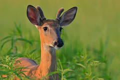 YoungBuck2 (Rich Mayer Photography) Tags: deer buck doe animal animals trees forest wild life wildlife nature fawn nikon