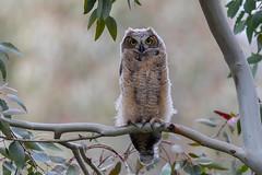Great-Horned Owl - Owlet (X91_6826-1) (Eric SF) Tags: greathornedowl owl owlet huntingtonbeachcentralpark california raptor