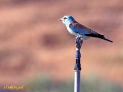 Carraca europea (Coracias garrulus) (12) (eb3alfmiguel) Tags: aves pájaros insectívoros coraciiformes coracidae carraca europea coracias garrulus