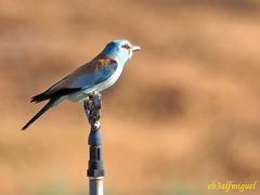 Carraca europea (Coracias garrulus) (11) (eb3alfmiguel) Tags: aves pájaros insectívoros coraciiformes coracidae carraca europea coracias garrulus