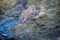 Scent Tracking Puma (Glatz Nature Photography) Tags: chile glatznaturephotography magallanes nature patagonia southamerica torresdelpaine wildanimal wildlife