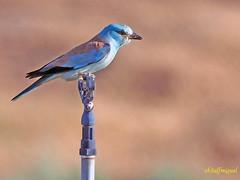 Carraca europea (Coracias garrulus) (8) (eb3alfmiguel) Tags: aves pájaros insectívoros coraciiformes coracidae carraca europea coracias garrulus
