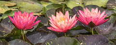 3 Water Lilies IMG_0056 (3Bs7Gs) Tags: lilies aquatic waterlilies aquaticplants watergardens lilyponds dallasarboretumandbotanicalgarden 3flowersinarow