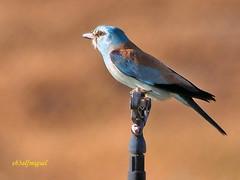 Carraca europea (Coracias garrulus) (10) (eb3alfmiguel) Tags: aves pájaros insectívoros coraciiformes coracidae carraca europea coracias garrulus
