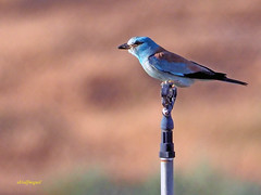 Carraca europea (Coracias garrulus) (9) (eb3alfmiguel) Tags: aves pájaros insectívoros coraciiformes coracidae carraca europea coracias garrulus