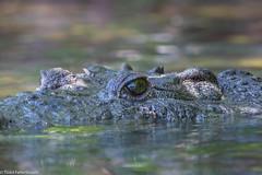 CA3I6620-Morelet's Crocodile (tfells) Tags: moreletscrocodile reptile mexico yucatan riolagartos crocodylusmoreletii nature wildlife