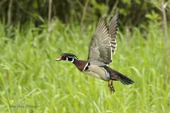 Wood Duck on the Wing (maryanne.pfitz) Tags: woodduck aixsponsa duck bird wildlife nature flight flying marsh grasses willows horiconmarshnwr mapwd4184 maryannepfitzinger