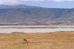 Thomson Gazelle, Ngorongoro, Tanzania (Amdelsur) Tags: tanzanie gazelledethomson continentsetpays caldeiradungorongoro afrique africa eudorcasthomsonii gazellathomsoni ngorongorocaldera tz tza tanzania thomsongazelle régiondarusha