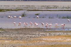 Lesser flamingo, Ngorongoro, Tanzania (Amdelsur) Tags: africa tanzania tz afrique tanzanie lesserflamingo phoeniconaiasminor tza flamantnain flamencoenano ngorongorocaldera régiondarusha continentsetpays caldeiradungorongoro