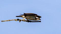 Osprey with stick (Gary R Rogers) Tags: bluesky osprey fishhawk flight hawk bird carryingstick