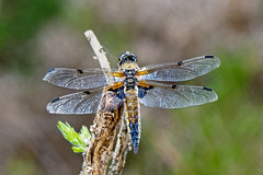 Four-spotted Chaser. (Warnham Bill) Tags: four spotted chaser dragonflies bill thornton