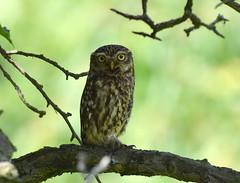 Athene noctua (Little owl / Steenuil) (Bas Kers (NL)) Tags: 2019 mei may europe netherlands zuidholland vockestaert