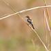 Woodchat Shrike (Lanius senator)